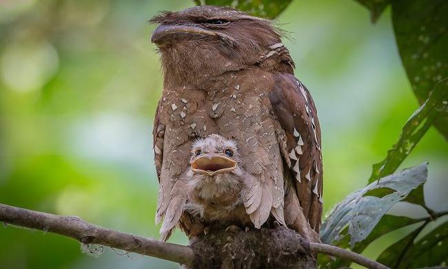 frogmouth-birds-cute-babies-pics-59-5f748d5fe6a9d__700