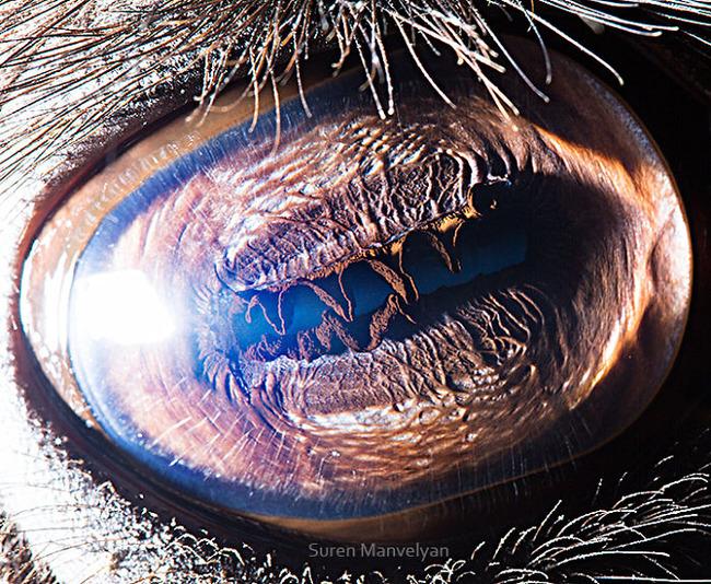 animal-eyes-photography-suren-manvelyan-16-5f4e19051f2e4__700