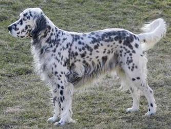 english_setter_dog_breed_400x303