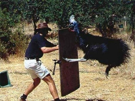 26 - 26 There are cassowaries which are giant awful birds