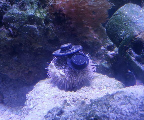 sea-urchins-tiny-hats-9-5fbba97871e0d__700