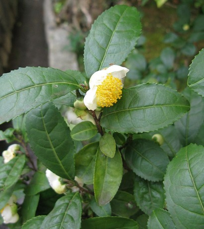 800px-Camellia_sinensis_Japan