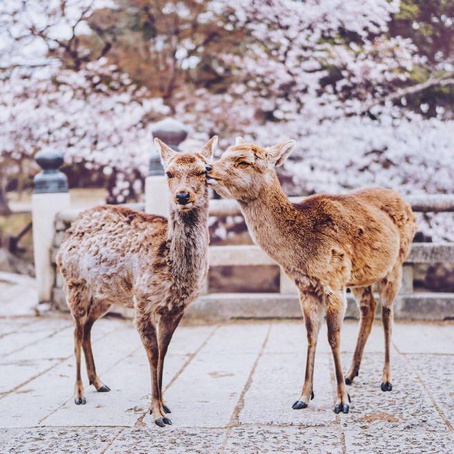 Lost-in-Kyoto-and-the-sakura-blossom-59101a6febb86__880