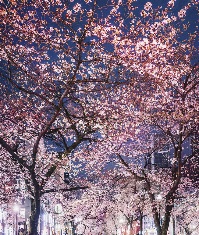 Lost-in-Kyoto-and-the-sakura-blossom-59101a960f96c__880