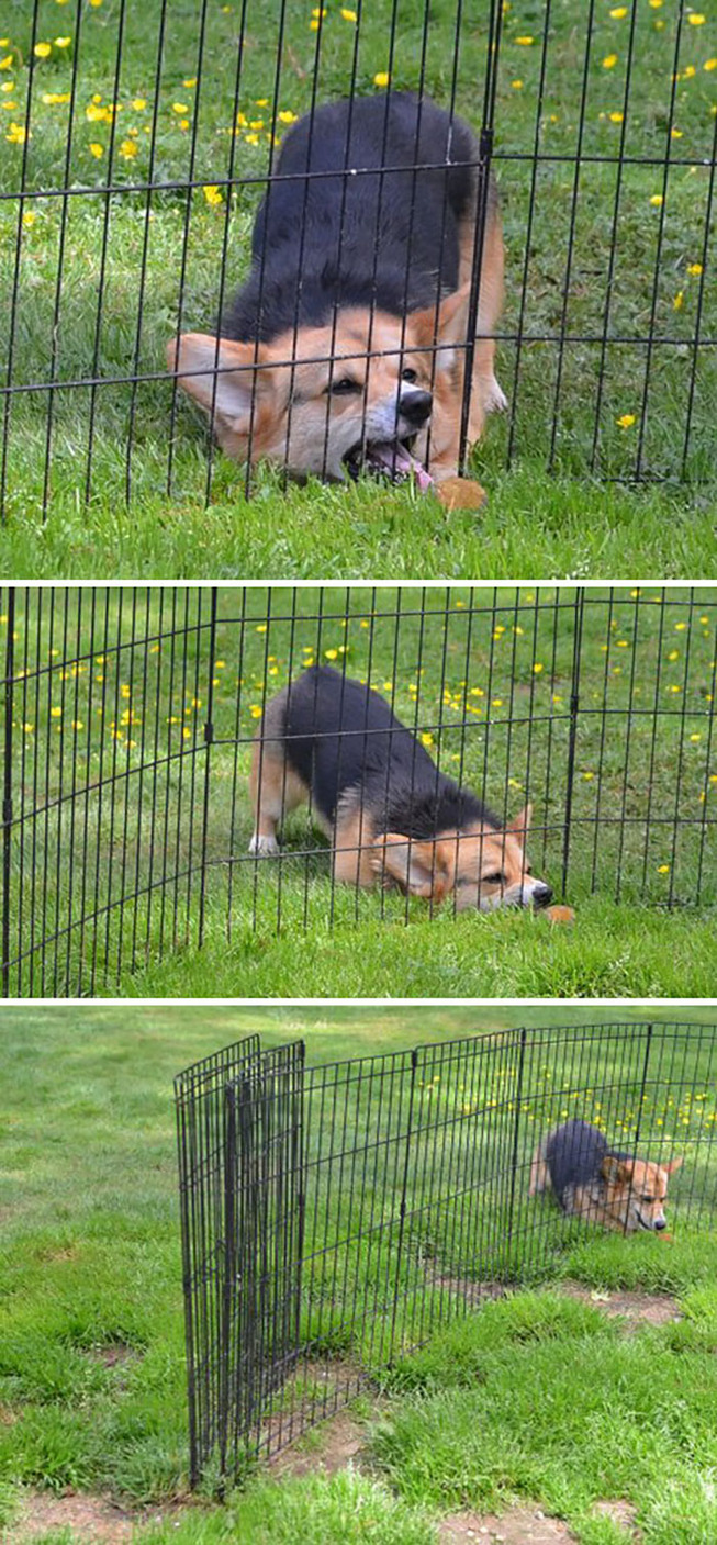 funny-corgis-cute-dogs-260-5b0fdf663a653__700