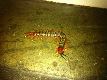 25 - 25 Australia also is home to giant venomous centipedes