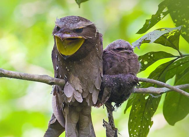 frogmouth-birds-cute-babies-pics-58-5f748c8868a2c__700