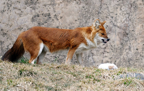 snarling_dhole_by_8twilightangel8-d3cln6k