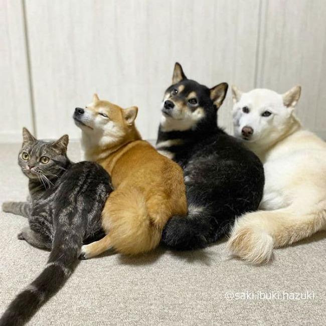 cat-thinks-she-is-dog-saki-ibuki-hazuki-4-5f646cfaa4121__700