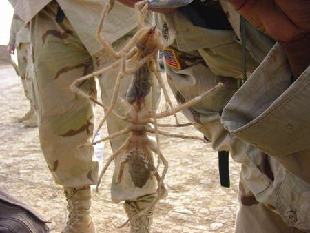 iraqi-spider