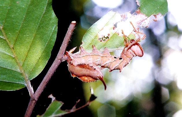 Stauropus_fagi_caterpillar