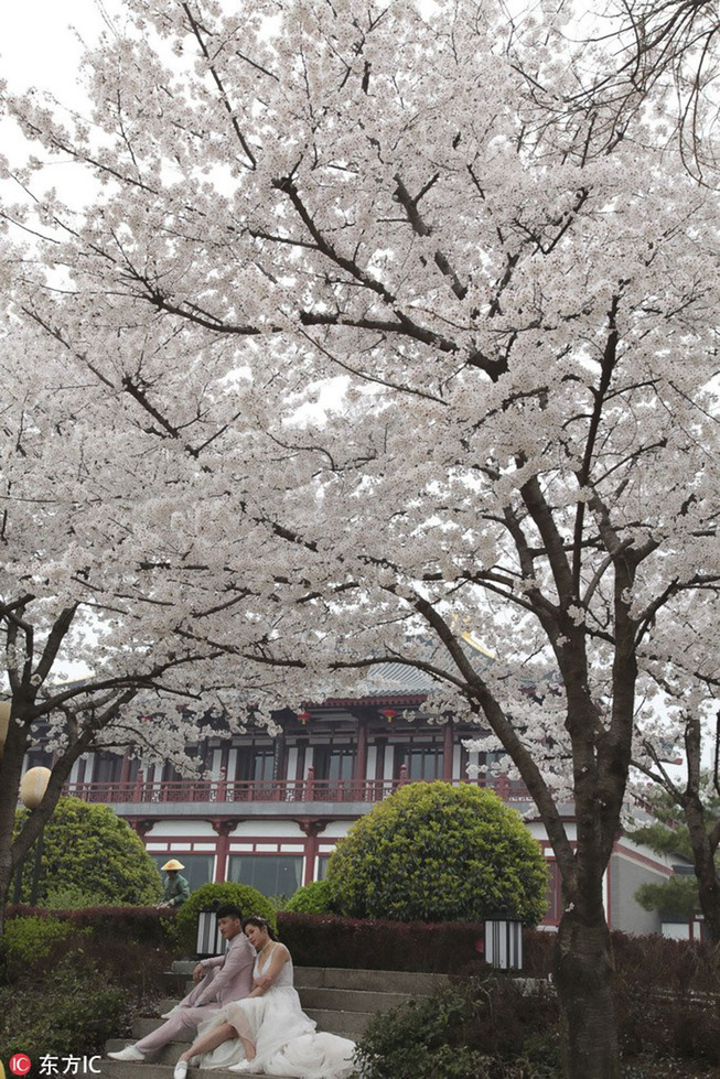 cherry-blossoms-spring-china-5-5ab2666fe246b__880