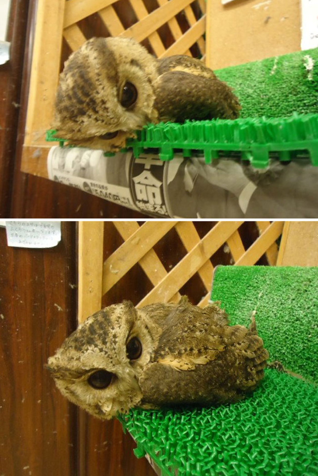 sleeping-baby-owls-face-down-4-5ef2f4e5df9c3__700
