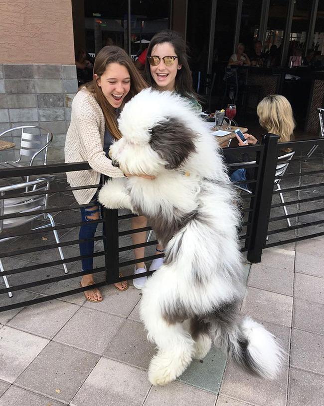 giant-dog-breeds-309-5fb7b76502bfb__700