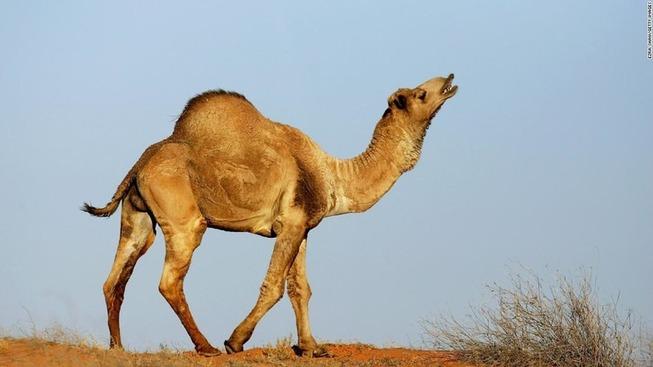 200107162811-wild-camel-australia-super-169