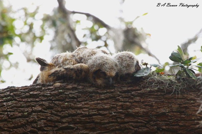 sleeping-baby-owls-face-down-1-5ef2f3bfdfbab__700