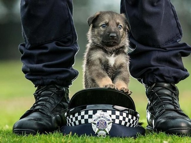 adorable-puppies-police-training-5f4626efdaf8d__700