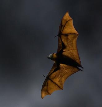 08 - 8 Flying fox bats can spread diseases