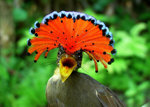 28 - The Amazonian Royal Flycatcher