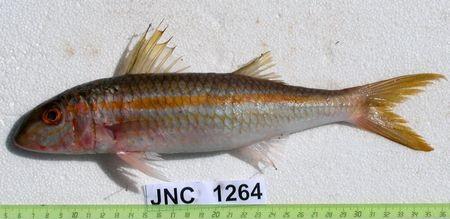 Mulloidichthys_vanicolensis_JNC1264