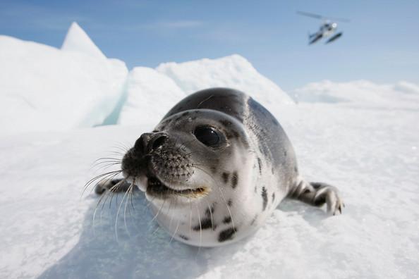 Canada+Raises+Quota+Controversial+Seal+Hunt+rU9dXJvpteDl