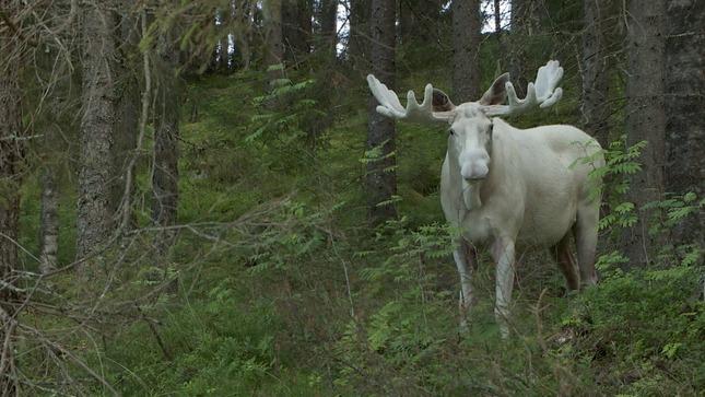 white-moose (1)