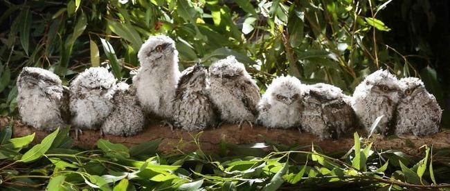 frogmouth-birds-cute-babies-pics-43-5f74432767e3e__700