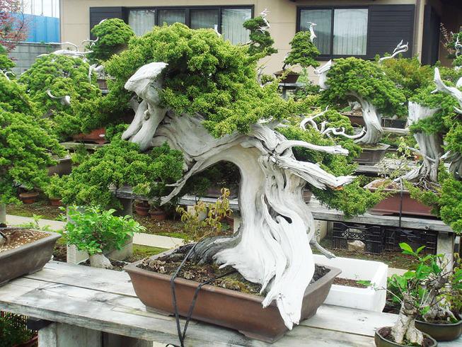 amazing-bonsai-trees-19-5710f2f5ca819__700