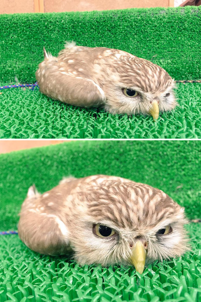 sleeping-baby-owls-face-down-5-5ef2f59e1b095__700