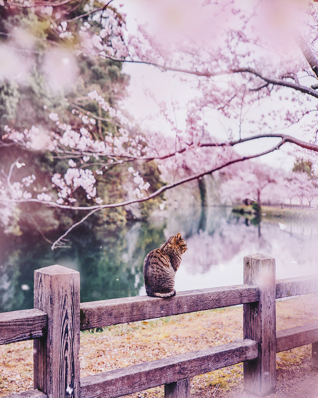Lost-in-Kyoto-and-the-sakura-blossom-59101a625b230__880