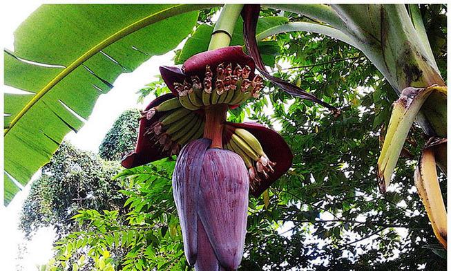 Bananaflower-703x422