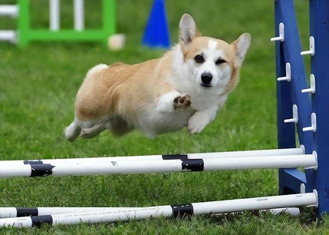 funny-corgis-cute-dogs-22-5afc402f939df__700