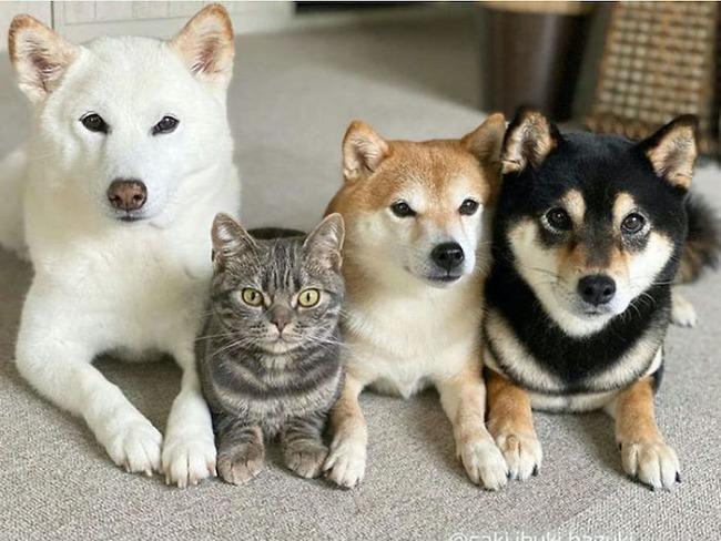 cat-thinks-she-is-dog-saki-ibuki-hazuki-5-5f646cfc0aa41__700
