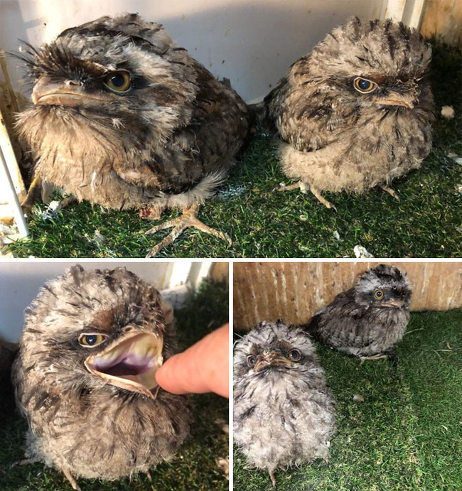 frogmouth-birds-cute-babies-pics-5-5f7442df04f9a__700 (1)
