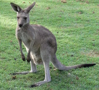 Eastern_Grey_Kangaroo_Young_Waiting