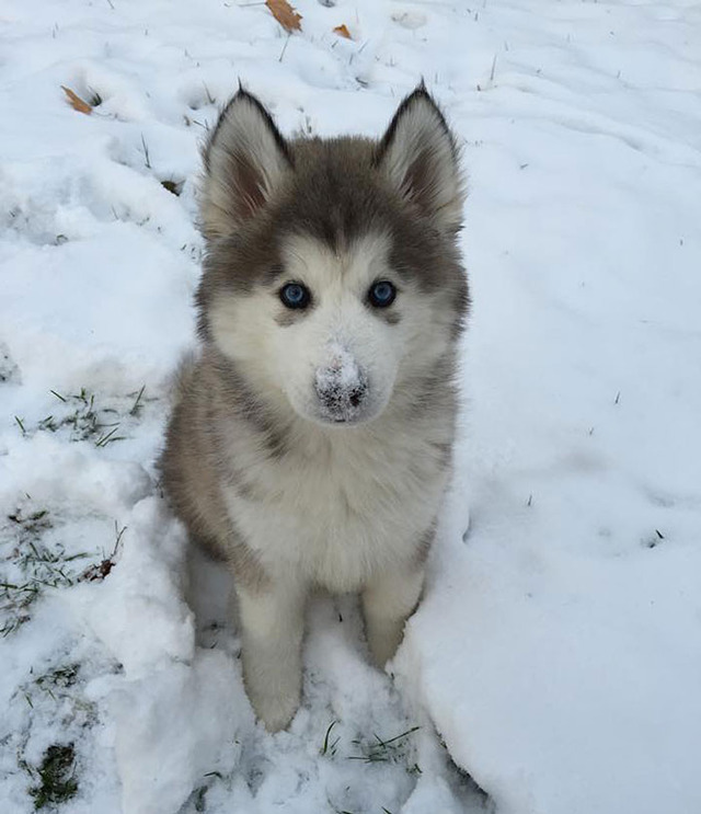 animals-and-first-snow-puppy-husky__700 (1)