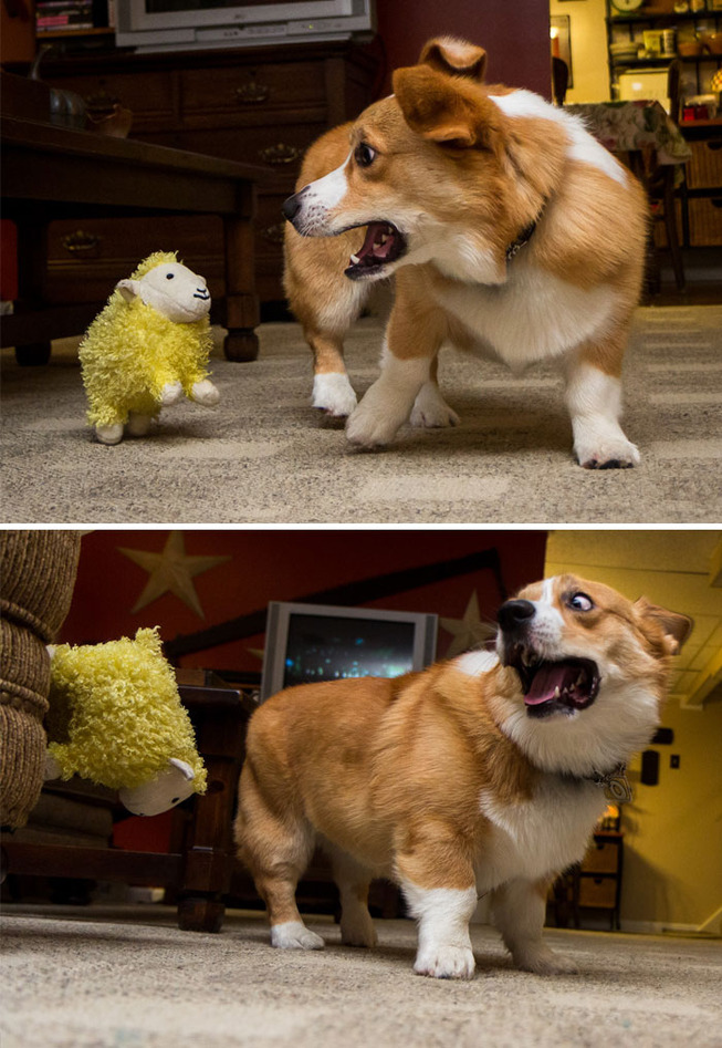 funny-corgis-cute-dogs-262-5b0fe242d0d82__700