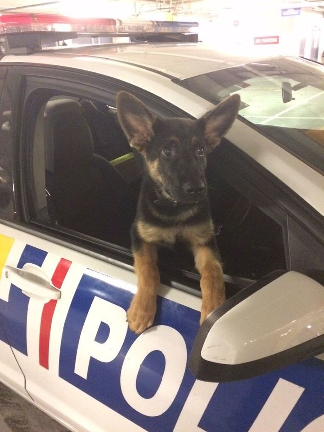 adorable-puppies-police-training-5f46350286888__700