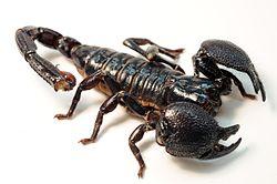 250px-Female_Emperor_Scorpion