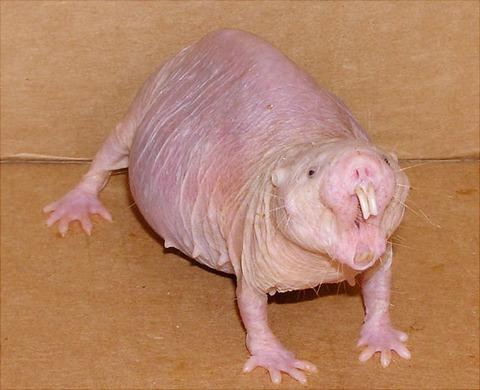 08 - Naked Mole Rat