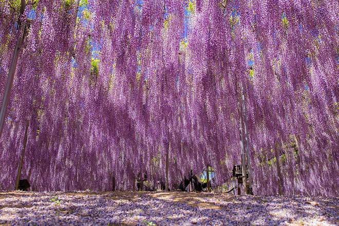 oldest-wisteria-tree-ashikaga-japan-11