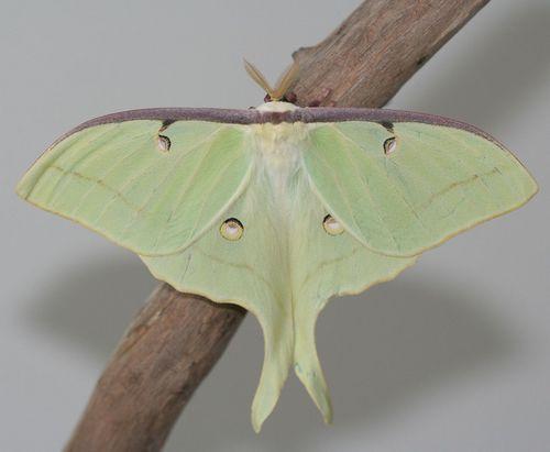 1280px-Male_Luna_Moth,_Megan_McCarty141