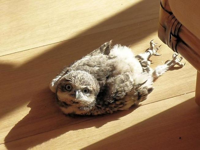 sleeping-baby-owls-face-down-3-5ef2f482c3a6f__700