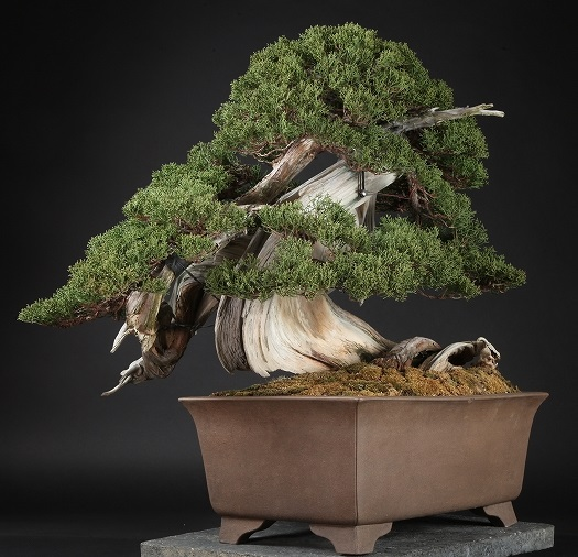 scube-expensive-bonsai-hp477-3
