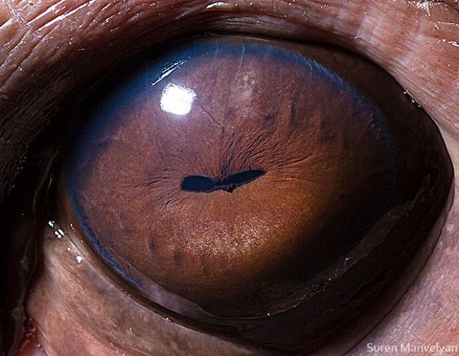animal-eyes-photography-suren-manvelyan-14-5f4e18fd6f486__700