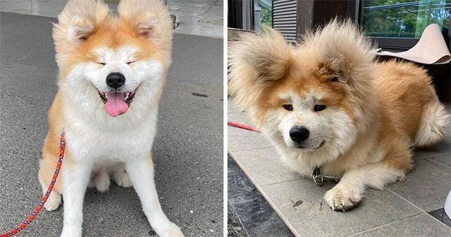 bob-akita-heart-shaped-face-dog-coverimage