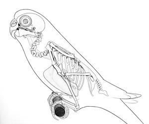 budgie-skeleton