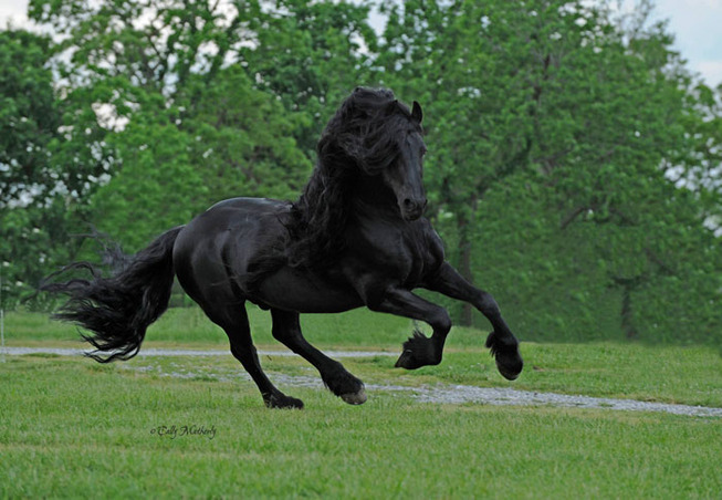 frederik-the-great-friesian-horse-stallion-27-5e96f9eff045d__700