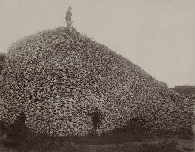 BisonSkulls