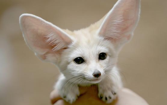 fox_with_big_ears_20150203_1093598758